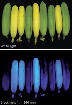 Bananas Glow Blue Under Blacklight Eat Me Daily