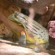kill-frog
