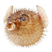 kill-fugu